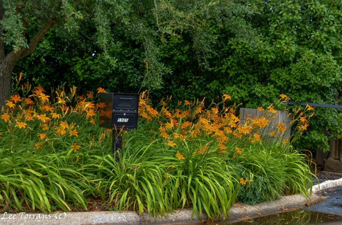 Day lilies with mail box.