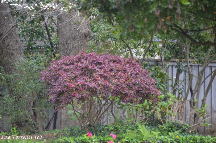 Deep purple barberry shrub turned into a tree form.