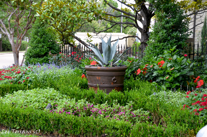 Agave. Perennials in containers in Texas landscape design.