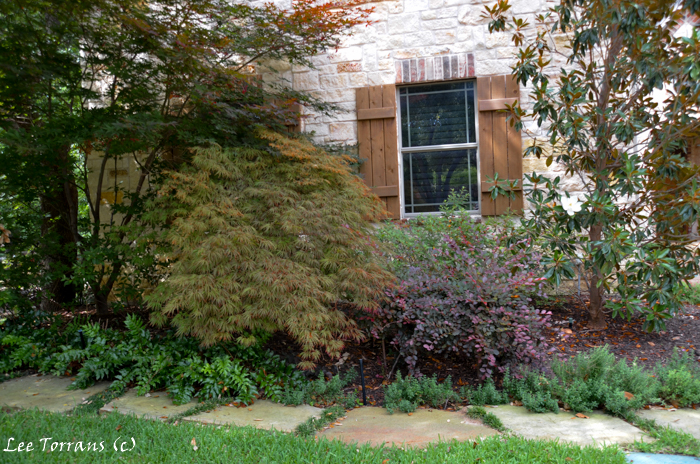 Dallas Landscape design with Japanese Maples, magnolia, barberry and ferns.