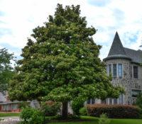 Large Magnolia Tree
