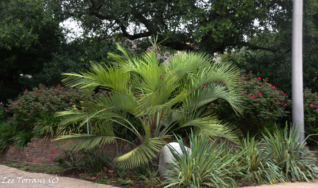 Dallas Landscaping: Palms with Yuccas.
