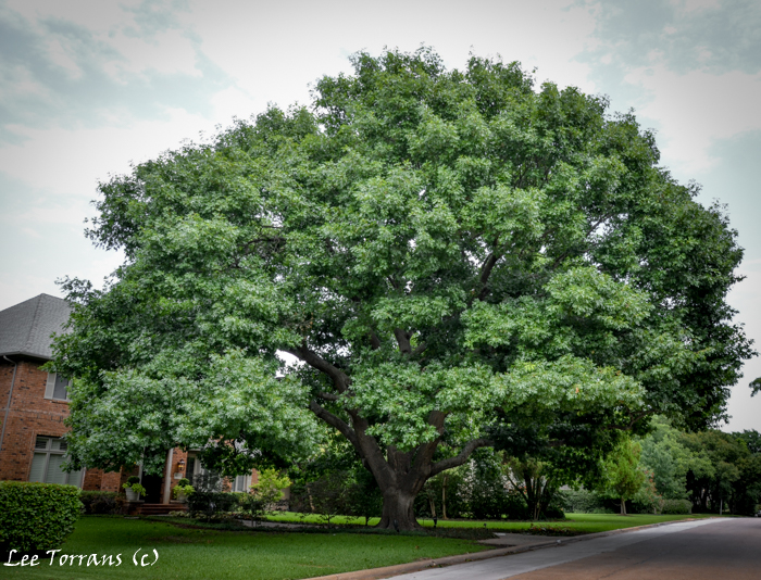 burr oak mature personals Shot in 2006, this story shows how the quincentennial bur oak tree in plano was dated.