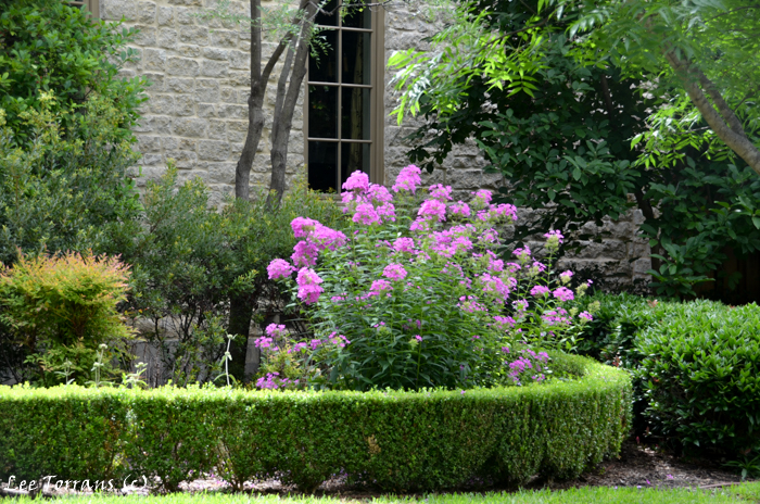 Summer phlox in purple a perennial that works as shrubs and bloom all summer!