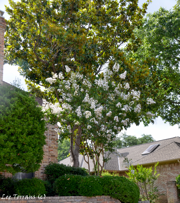 White Cotton White Crape Myrtle: upward branching with large white pannicles