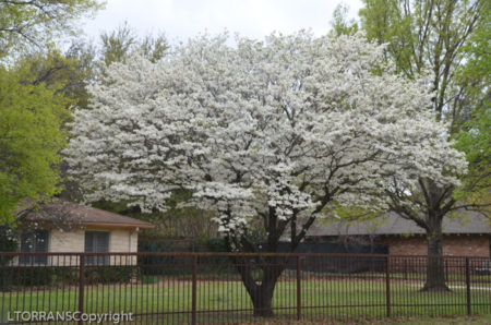 White Dogwood Houston