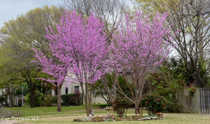 Oklahoma Redbud Tree