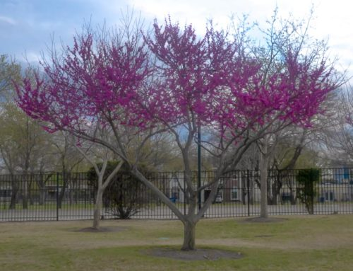 Redbuds and Oklahoma Red Bud – Plant Now!