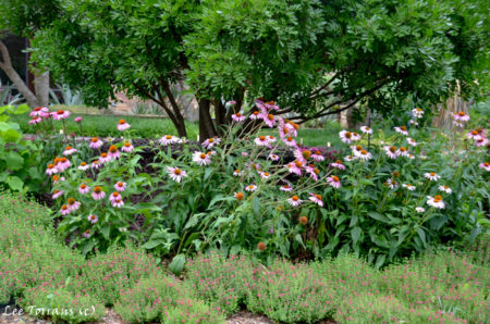 Purple Cone Flower and Salvia Greggii both June blooming perennials in Texas.