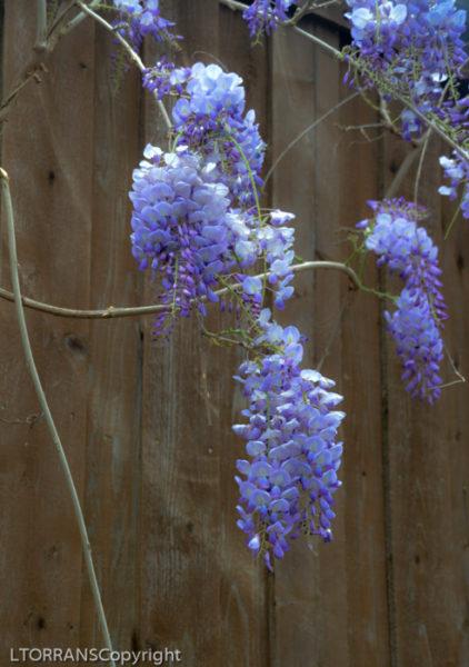 Purple Lilac Wisteria