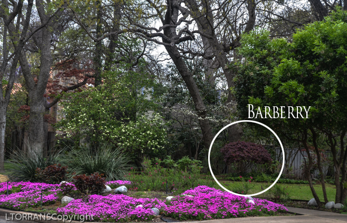 Prune your barberry into a tree rather than hacking it up.
