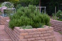 Thyme, perennial herb great for raised beds.