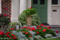 Ready for summer with a classic combination of Geraniums, red and orange, and gray Dusty Miller